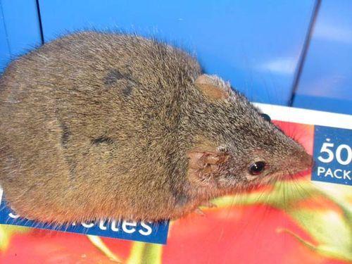 Yellow-footed Antechinus | Antechinus flavipes photo