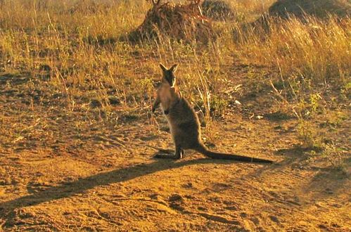 Bridled Nailtail Wallaby | Onychogalea fraenata photo