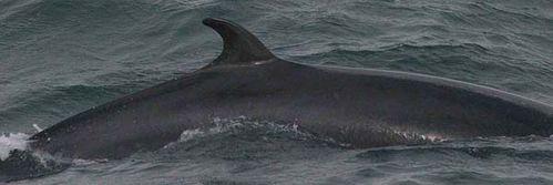 Dwarf Minke Whale | Balaenoptera acutorostrata photo