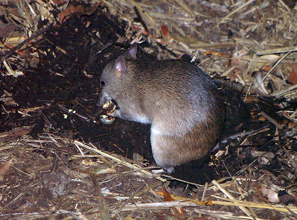 Long-nosed Bandicoot | Perameles nasuta photo