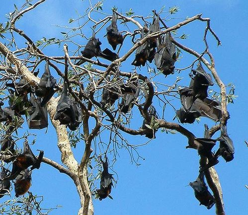 Black Flying-fox | Pteropus alecto photo