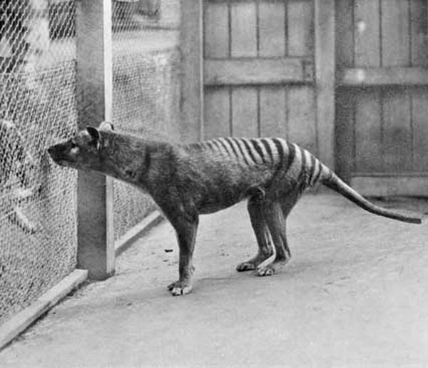 Tasmanian Tiger (Thylacine) | Thylacinus cynocephalus photo