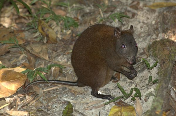 Musky Rat Kangaroo | Hypsiprymnodon moschatus photo