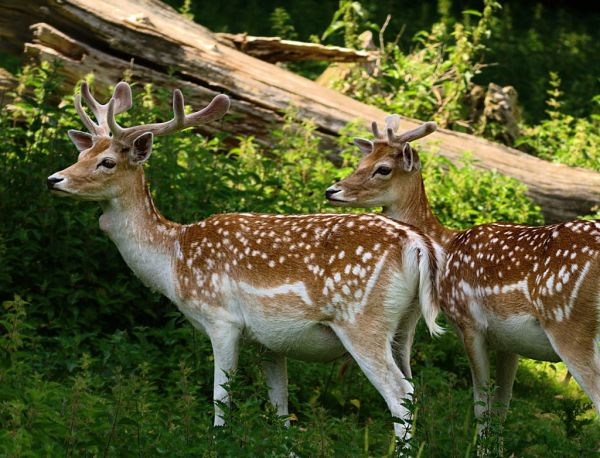 Fallow Deer | Dama dama photo