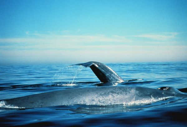 Blue Whale | Balaenoptera musculus photo