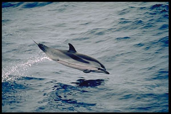 Striped Dolphin | Stenella coeruleoalba photo