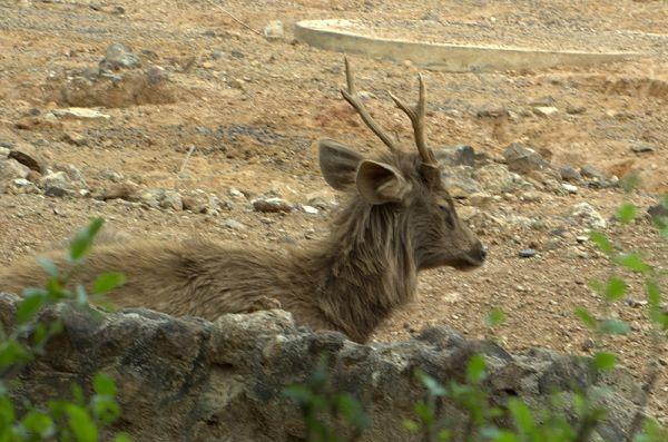 Sambar | Cervus unicolor photo