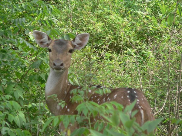 Chital | Axis axis photo