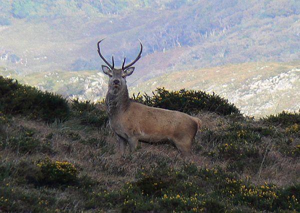 Red Deer | Cervus elaphus photo