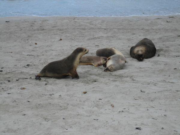 Australian Sea Lion | Neophoca cinerea photo