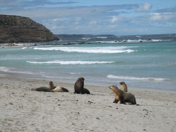 Australian Sea Lion   Neophoca cinerea photo