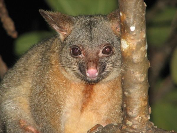 Northern Brushtail Possum | Trichosurus arnhemensis photo