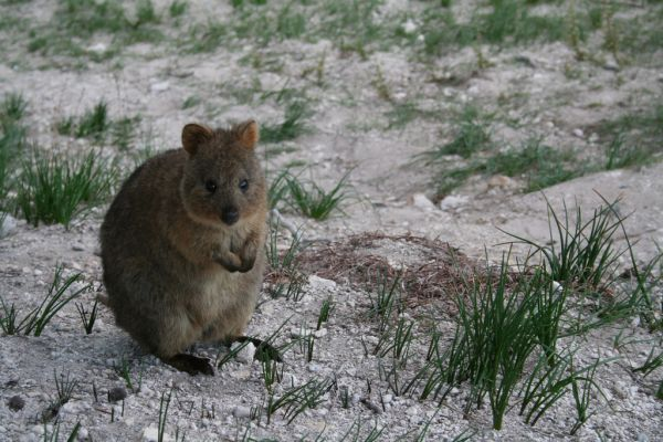 Quokka | Setonix brachyurus photo