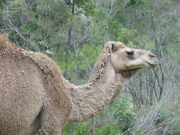 Dromedary Camel | Camelus dromedarius photo
