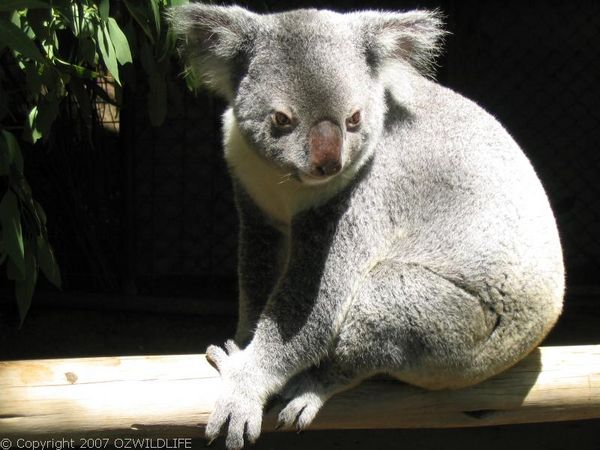 Koala   Phascolarctos cinereus photo