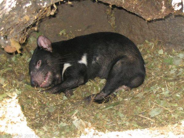 Tasmanian Devil   Sarcophilus harrisii photo