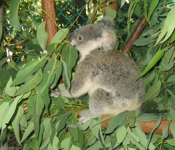 Koala | Phascolarctos cinereus photo