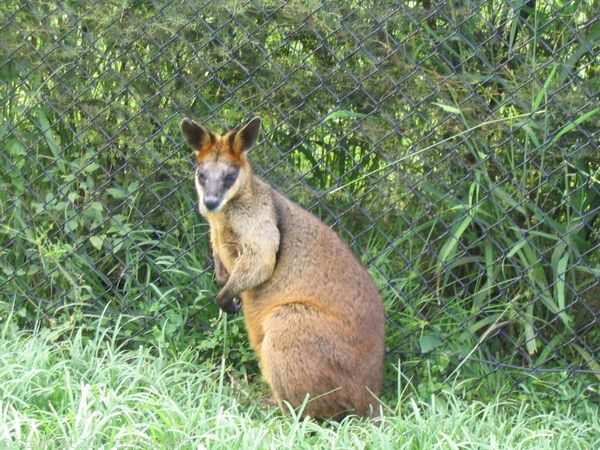 Swamp Wallaby | Wallabia bicolor photo