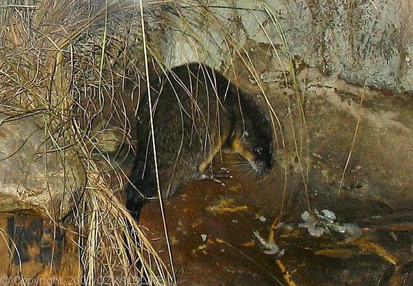 Water-rat | Hydromys chrysogaster photo