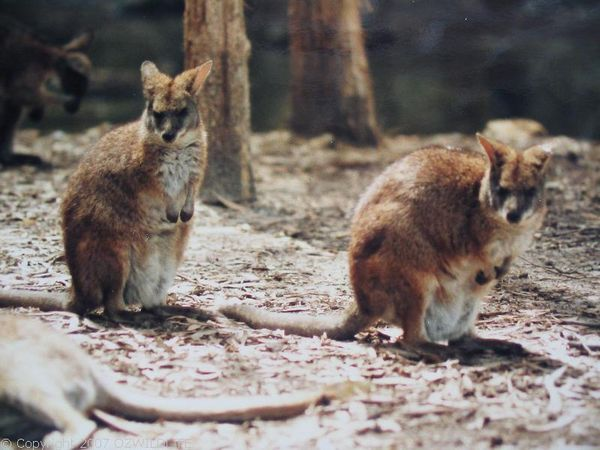 Parma Wallaby | Macropus parma photo