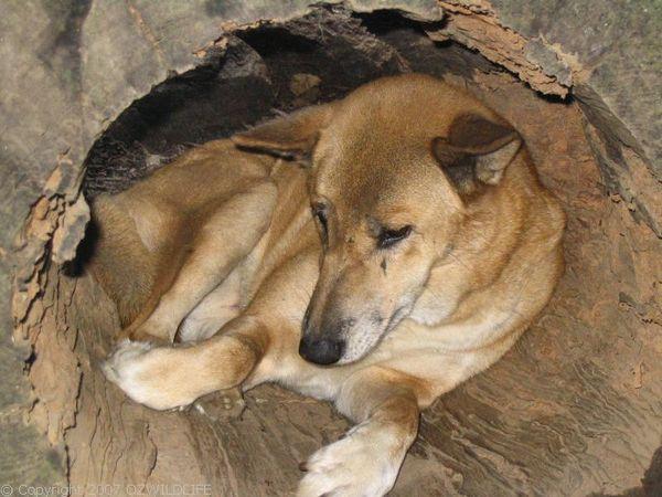 Dingo   Canis lupus photo