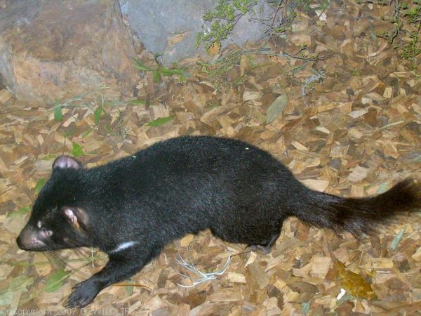 Tasmanian Devil | Sarcophilus harrisii photo