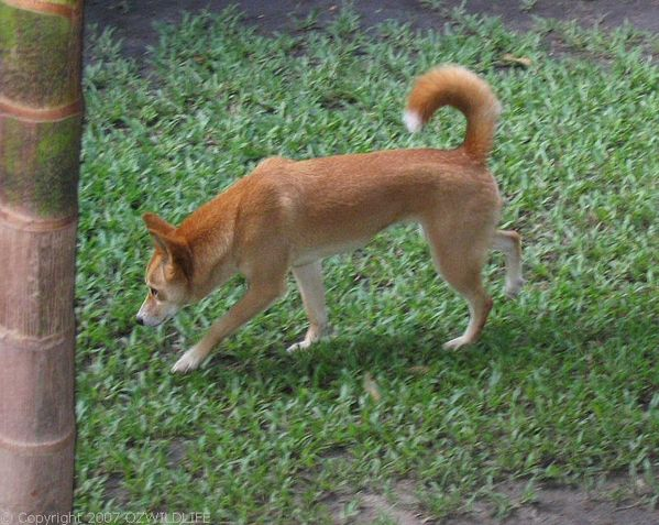 Dingo | Canis lupus photo
