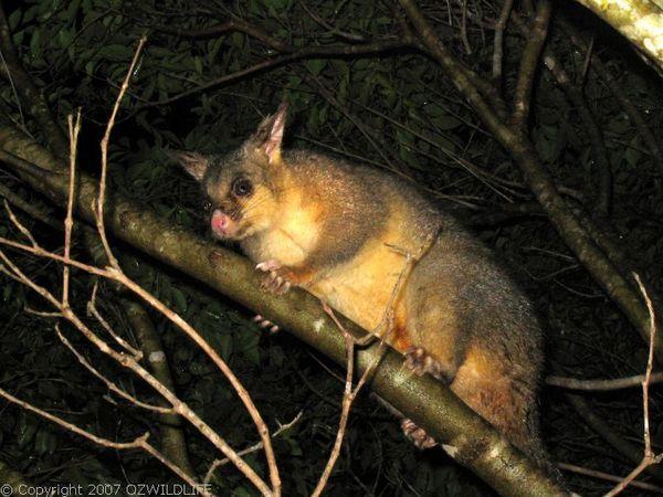 Common Brushtail Possum | Trichosurus vulpecula photo