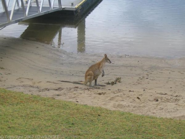 Agile Wallaby | Macropus agilis photo