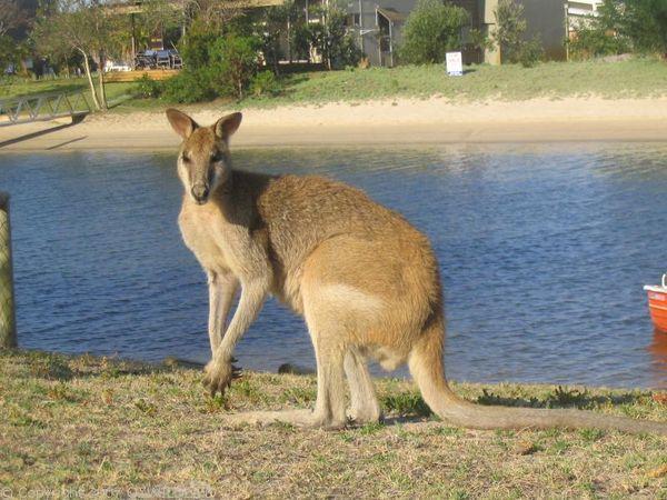 Agile Wallaby   Macropus agilis photo