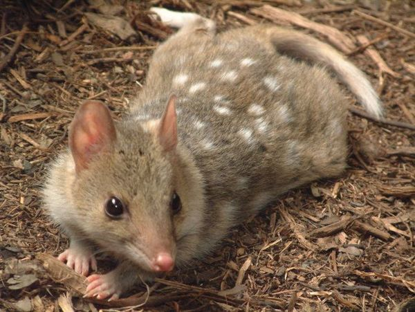 Eastern Quoll | Dasyurus viverrinus photo