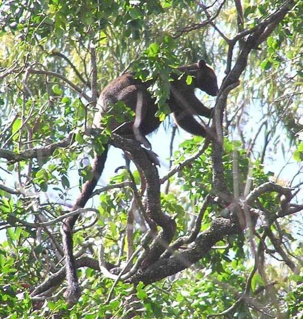 Bennett's Tree-kangaroo   Dendrolagus bennettianus photo