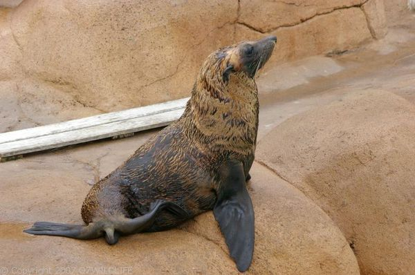 New Zealand Fur Seal | Arctocephalus fosteri photo