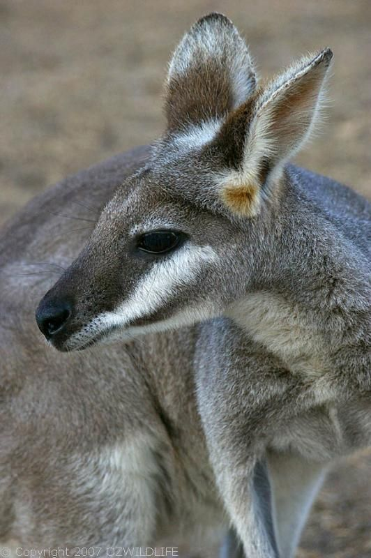 Whiptail Wallaby | Macropus parryi photo