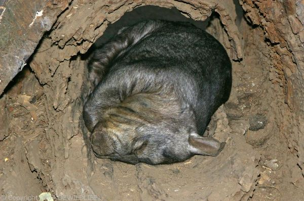 Southern Hairy-nosed Wombat | Lasiorhinus latifrons photo