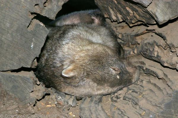 Common Wombat | Vombatus ursinus photo