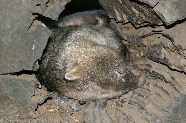 Common Wombat | Vombatus ursinus photo