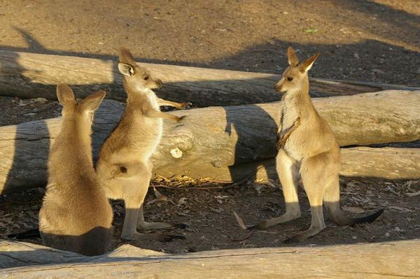 Eastern Grey Kangaroo | Macropus giganteus photo