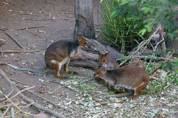 Red-legged Pademelon | Thylogale stigmatica photo