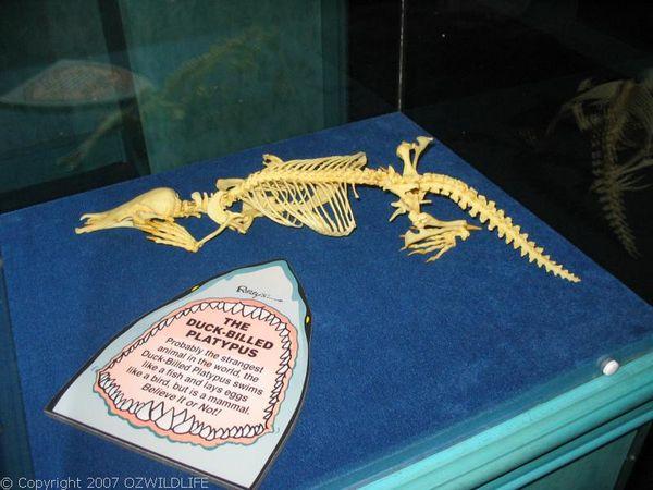 Platypus   Ornithorhynchus anatinus photo