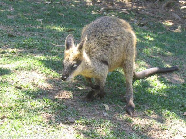 Swamp Wallaby | Wallabia bicolor photo