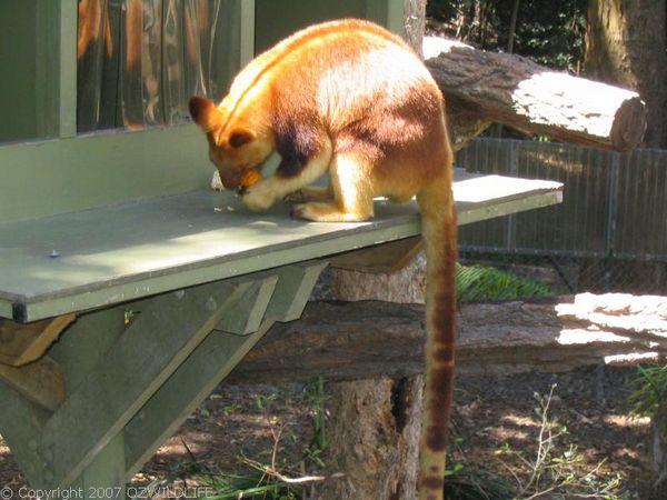 Goodfellow's Tree-kangaroo   Dendrolagus goodfellowi photo