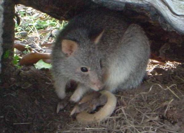Rufous bettong | Aepyprymnus rufescens photo
