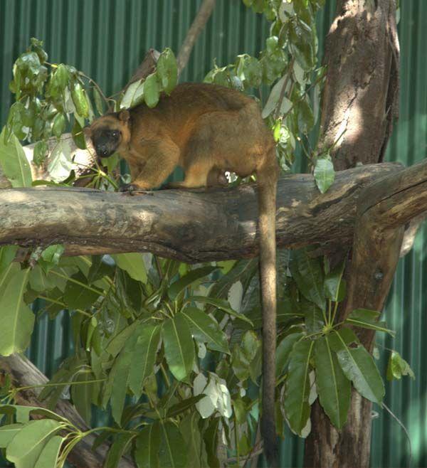 Lumholtz's Tree-kangaroo | Dendrolagus lumholtzi photo