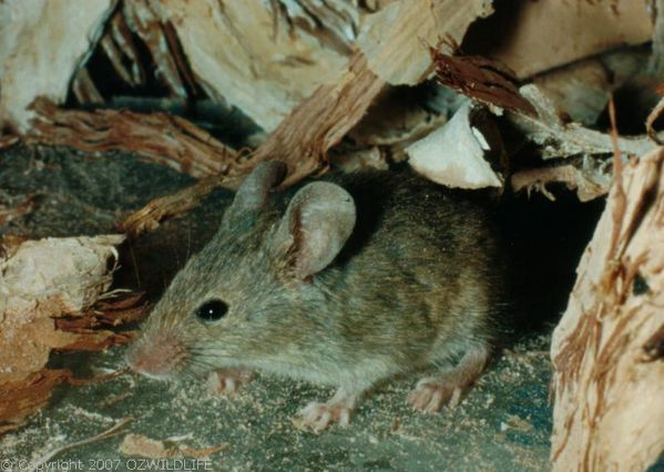 House Mouse | Mus musculus photo
