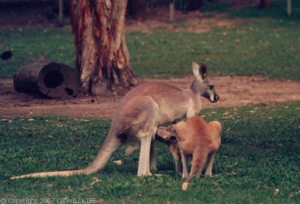 Red Kangaroo | Macropus rufus photo