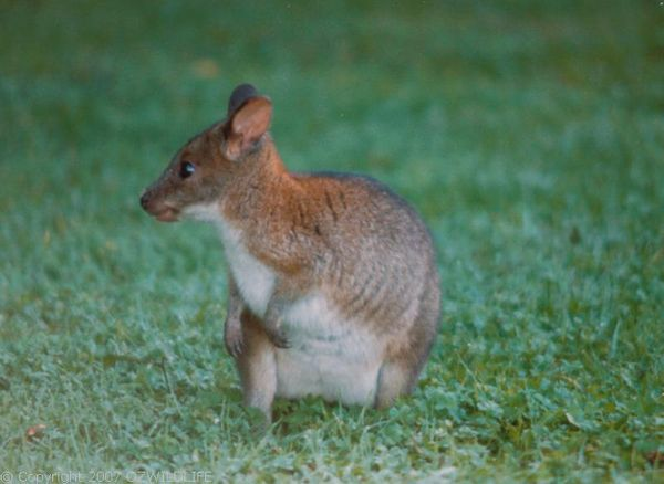 Red-necked Pademelon | Thylogale thetis photo