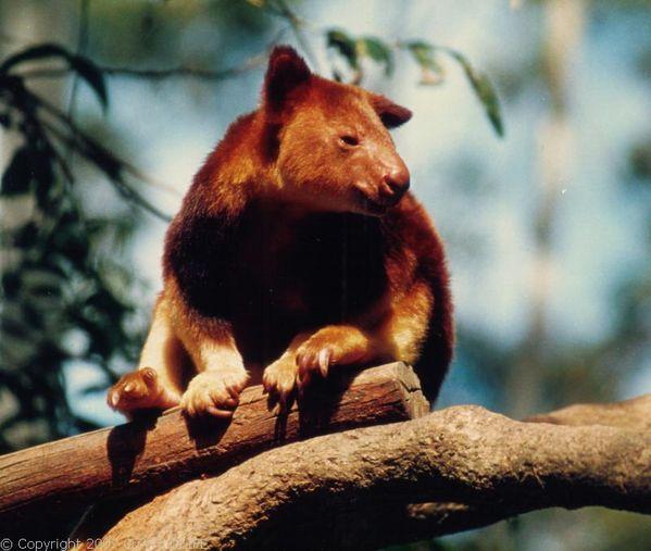 goodfellows tree kangaroo goodfellow39s treekangaroo dendrolagus goodfellowi