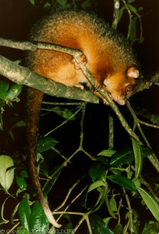 Common Ringtail Possum | Pseudocheirus peregrinus photo