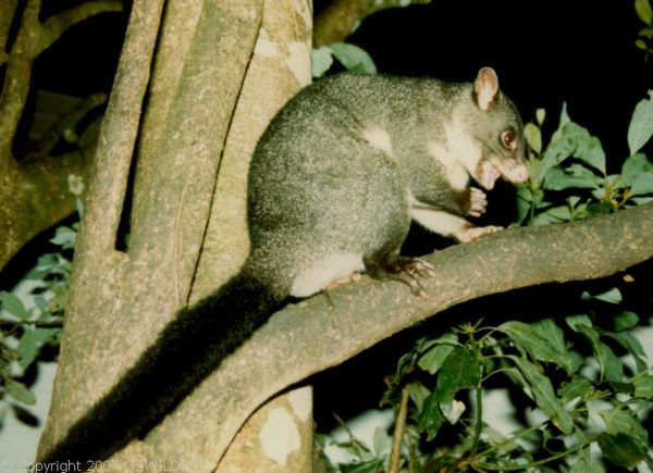 Mountain Brushtail Possum | Trichosurus cunninghami photo